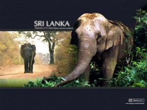 sri lanka elephant tourisme 300x225 photo